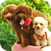 Poodle Wallpaper HD